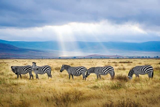5 zèbres broutent dans la savane. En toile de fond, la lumière perce les nuages.
